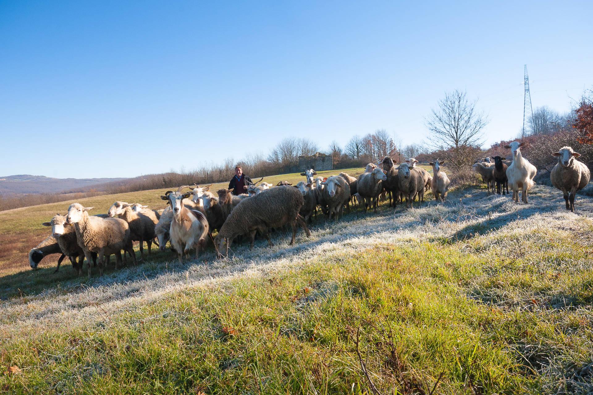 Matese Guardiaregia - Molise - Pecore e pastore sul Tratturo Pescasseroli-Candela campobasso